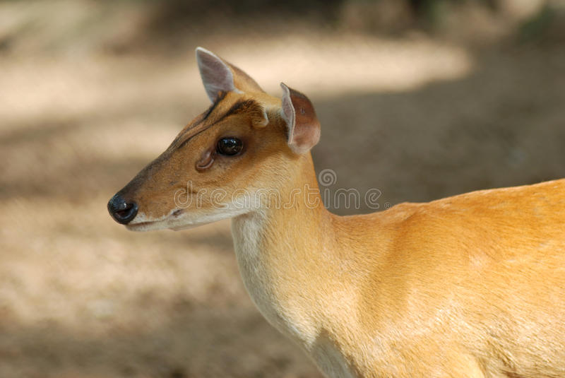 Download Fawn stock image. Image of mammal, young, animal, deer - 10627155