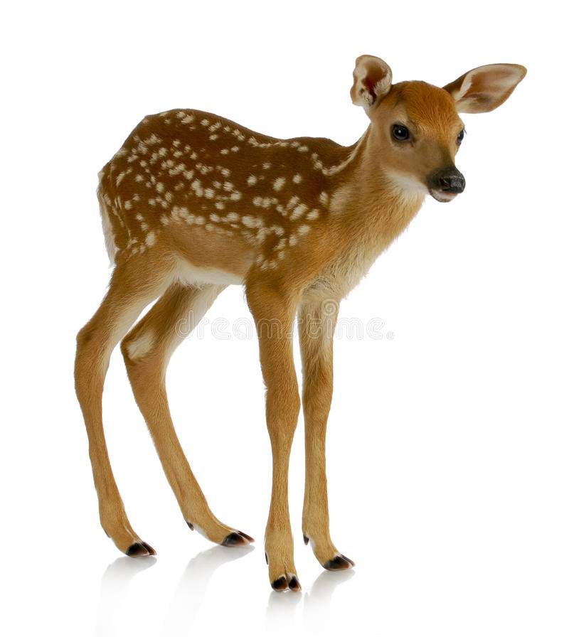 Free Fawn Royalty Free Stock Images - 25259989