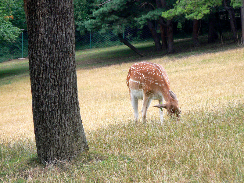 Download Fawn stock image. Image of forest, adorable, mammal, animal - 3049311