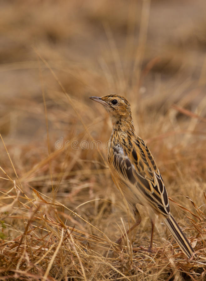 Download A Fawn-colored Lark On The Ground Stock Image - Image: 24242403