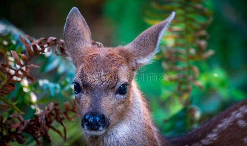 Fawn Deer Closeup In Forest fotografia stock libera da diritti