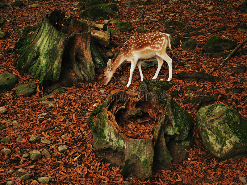 Fawn deer in forest royalty free stock photo