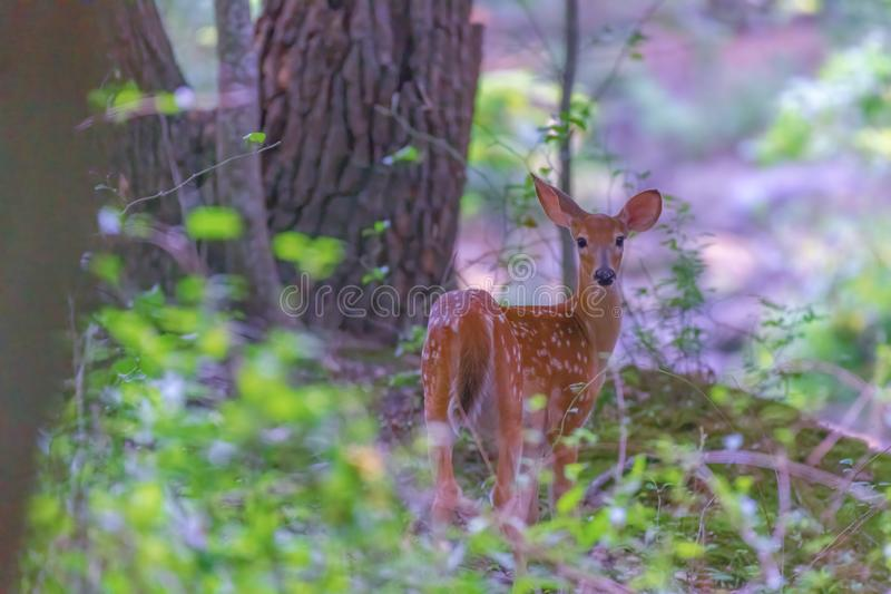 Fawn deer looking at the camera stock photo