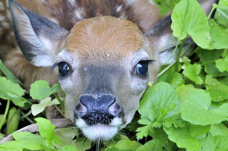 Fawn dei cervi di Whitetail fotografie stock libere da diritti