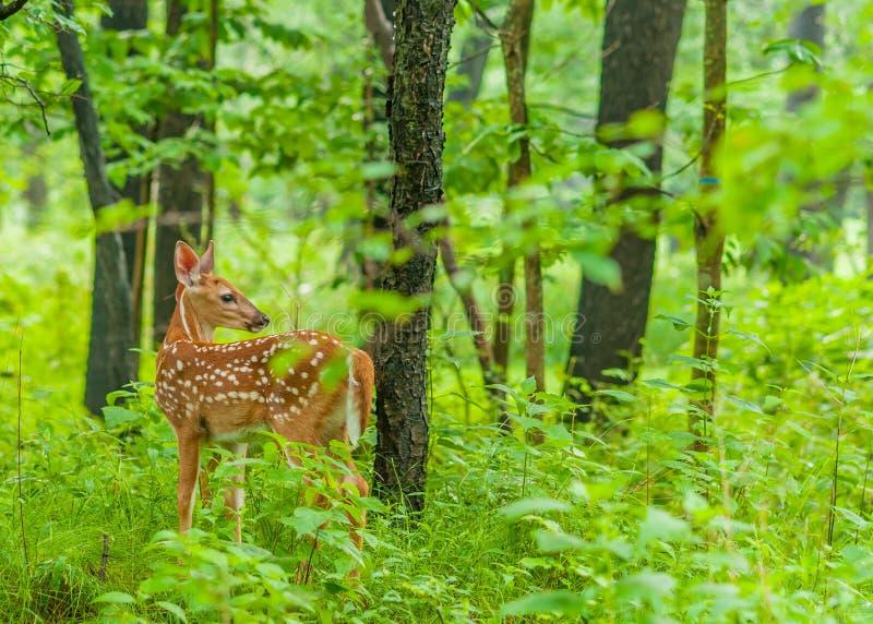 Fawn dei cervi di Whitetail fotografia stock libera da diritti