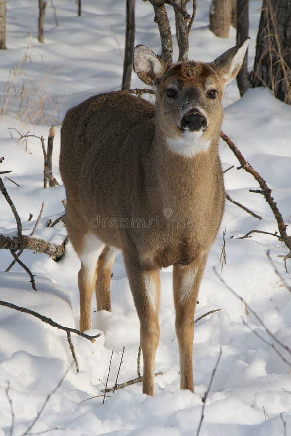 Fawn dei cervi di Whitetail del bambino nella neve fotografia stock libera da diritti