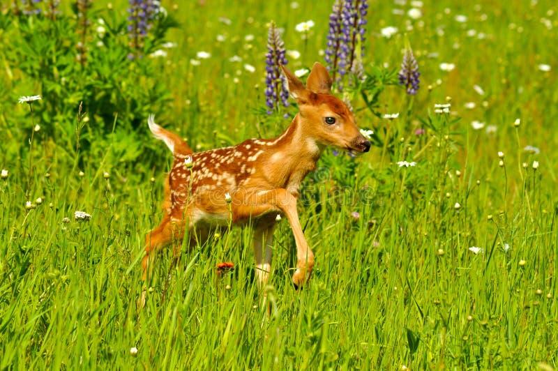 Fawn del bambino nel campo dei wildflowers. immagini stock libere da diritti