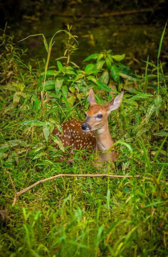 Fawn in the forest laying down stock photography