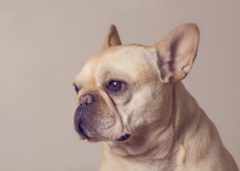 Fawn French Bulldog stock images