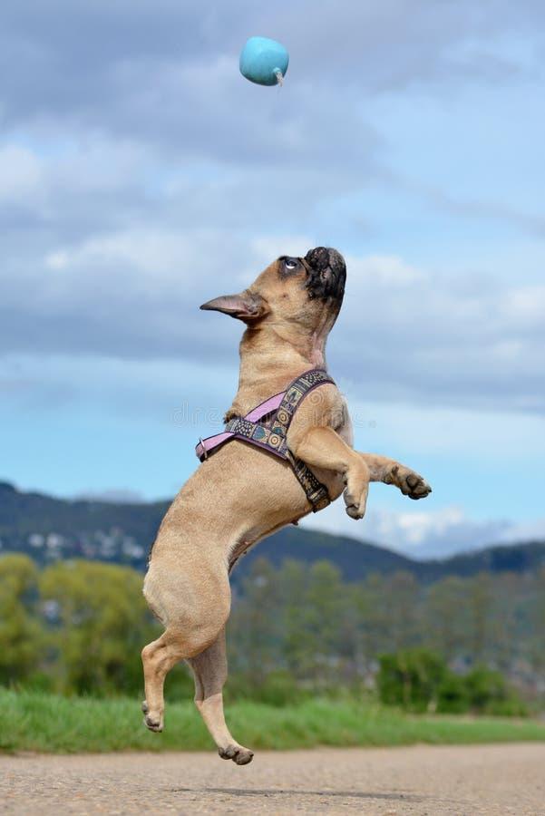 Fawn French Bulldog hund som högt hoppar för att fånga en bollleksak under att spela hämta framme av blå himmel arkivfoto