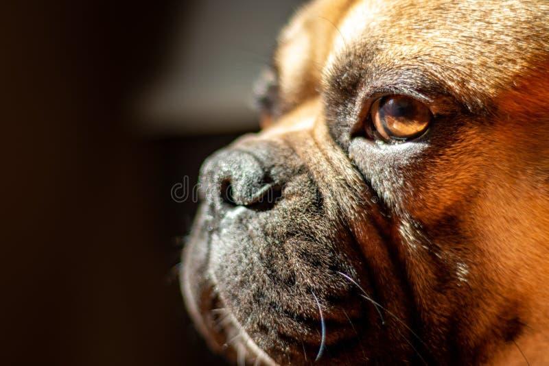 Sad Fawn French Bulldog lying in the sun on a lazy Sunday stock photos