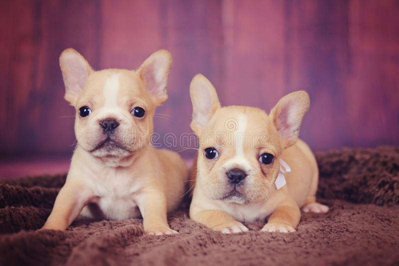 Fawn french bulldog puppies stock photos