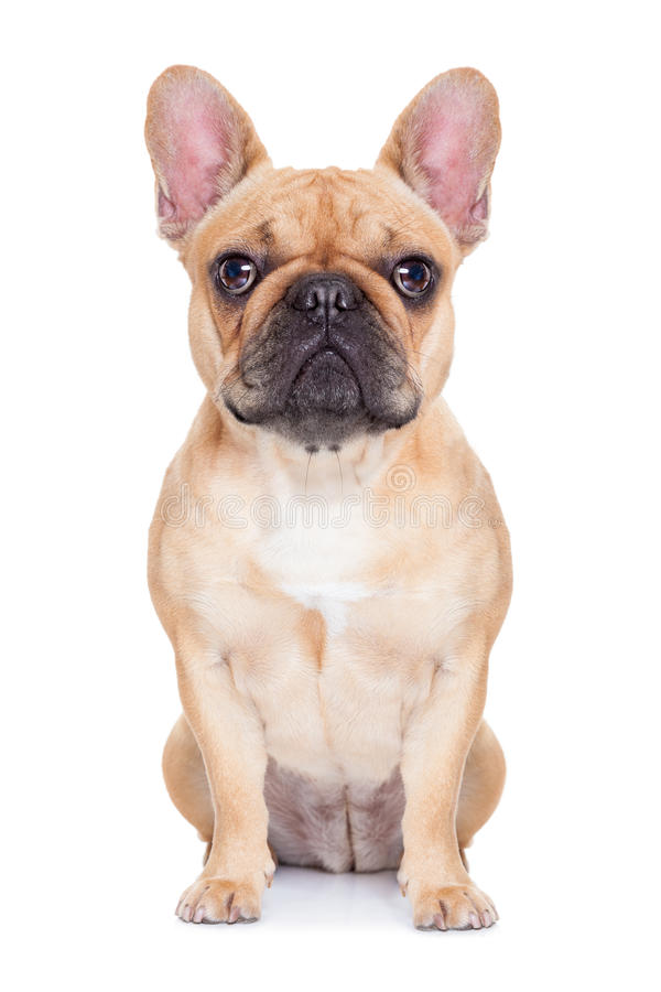 Fawn french bulldog royalty free stock photo