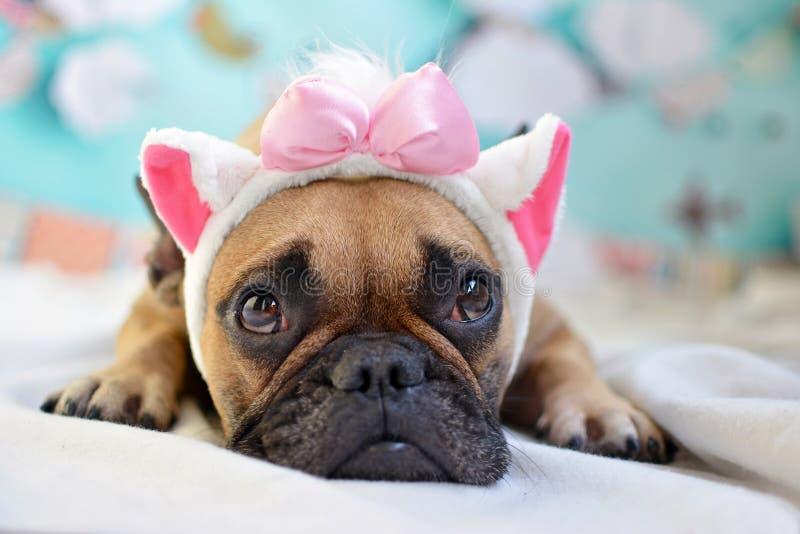 Fawn French Bulldog som lägger på golvet som ser upp med huvudbindeln för kattöron och det rosa bandet arkivfoto