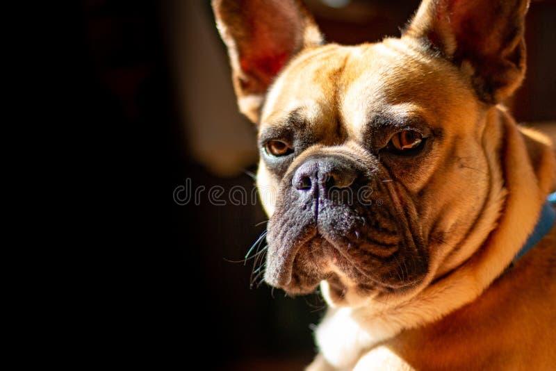 Fawn French Bulldog triste que miente en el sol el domingo perezoso foto de archivo