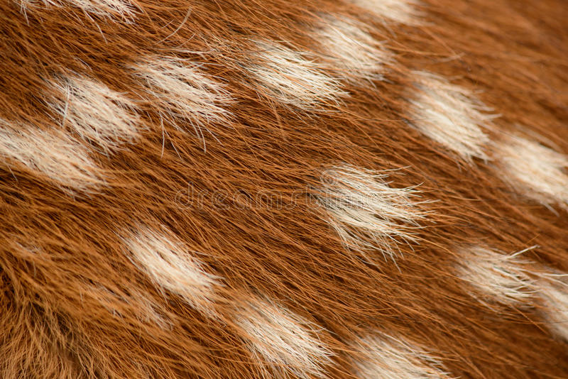 Fawn fur royalty free stock image