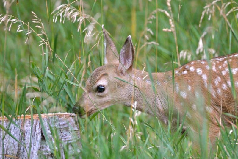 Fawn in het gras stock fotografie