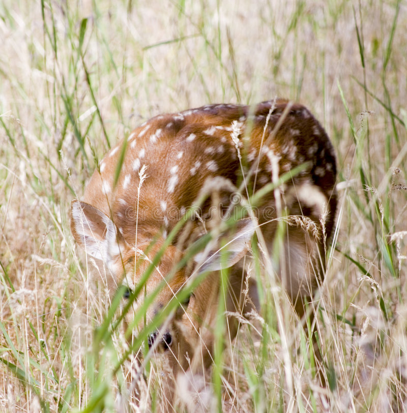 Fawn Hiding Stock Images