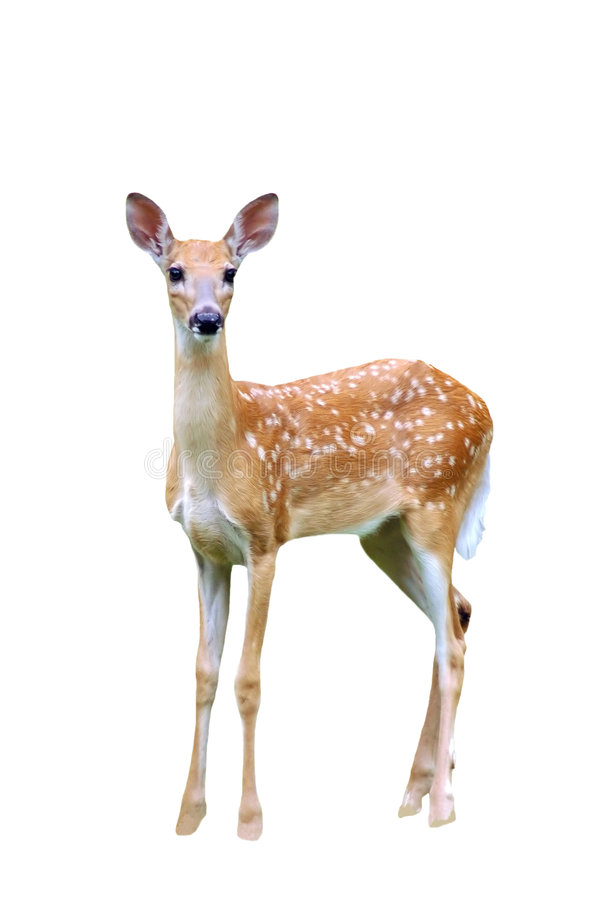 Fawn isolated royalty free stock photos