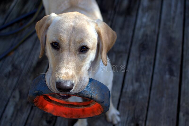 Fawn Labrador Retriever With Black Ring in Mouth royalty free stock photo