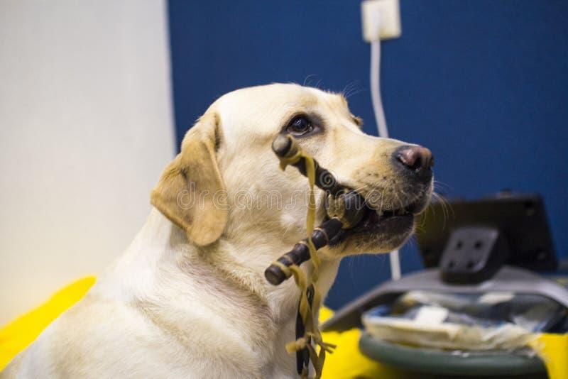 Fawn Labrador Retriever e estilingue imagem de stock royalty free
