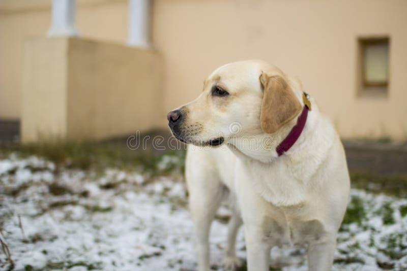 Fawn Labrador Retriever op de eerste sneeuw royalty-vrije stock afbeeldingen