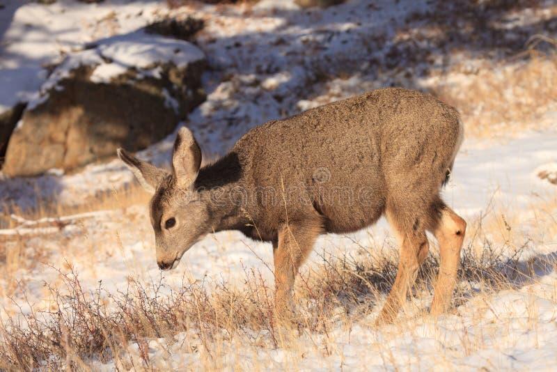 Fawn molto giovane dei cervi muli fotografia stock