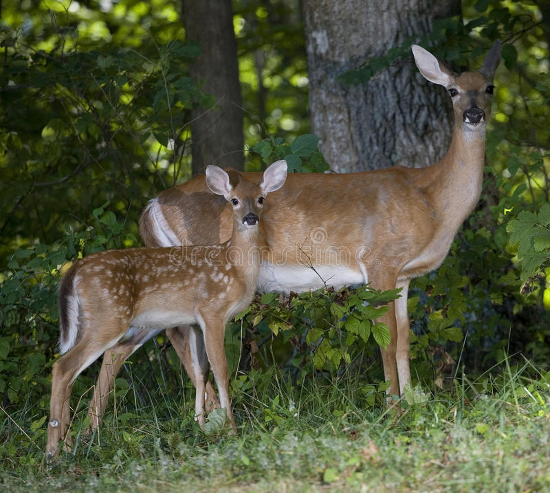 Download Fawn and mom stock image. Image of animal, fawn, strobist - 16225659