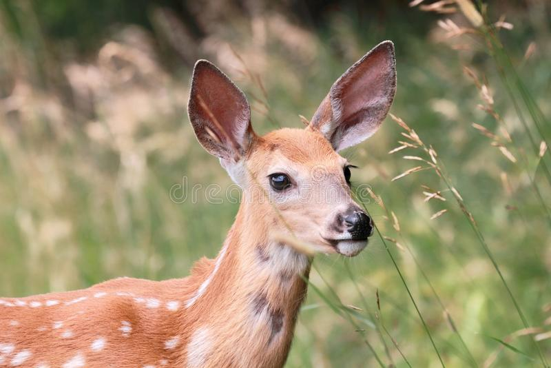 Fawn In Nature Royalty Free Stock Photography