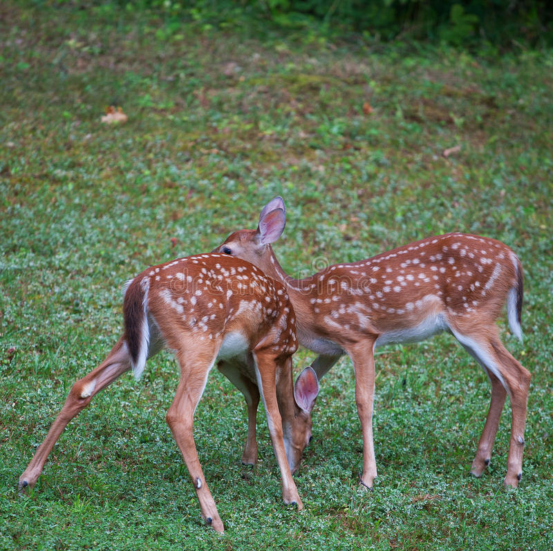 Download Fawn Pair stock image. Image of head, spots, whitetail - 34886301