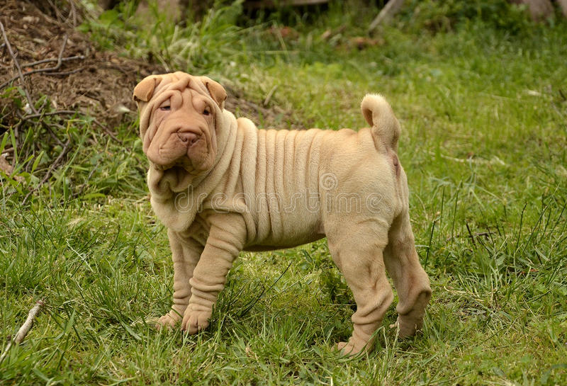Fawn puppy sharpei royalty free stock images