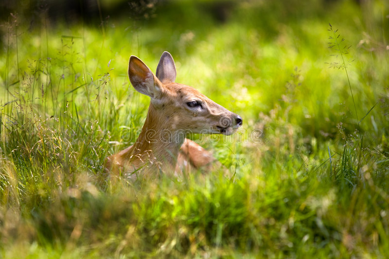 Fawn Resting 4 stock images
