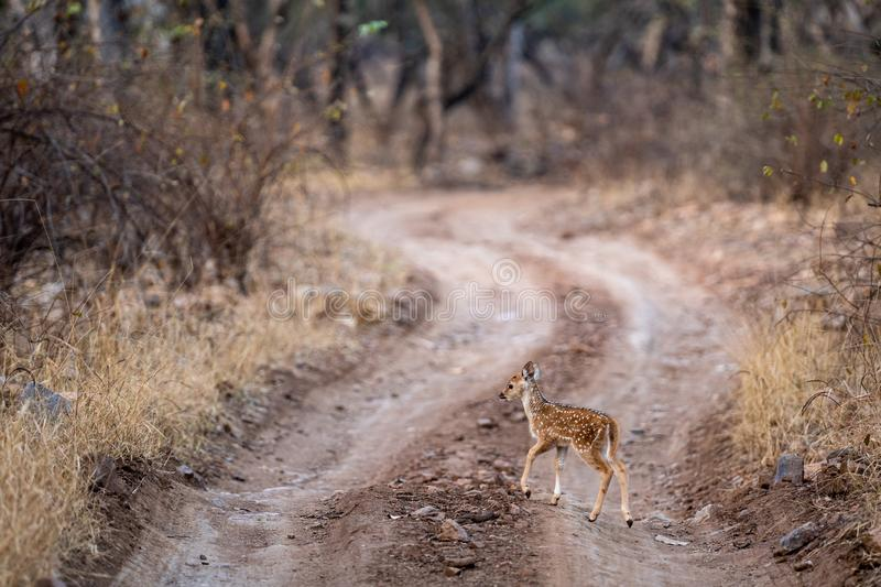 Fawn of spotted deer or chital or cheetal or chital deer or axis deer or axis axis in middle of jungle track at ranthambore stock images