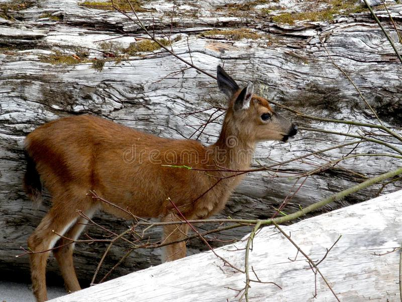 Fawn standing between two bleached beach logs in the Broken Group, British Columbia. royalty free stock photography