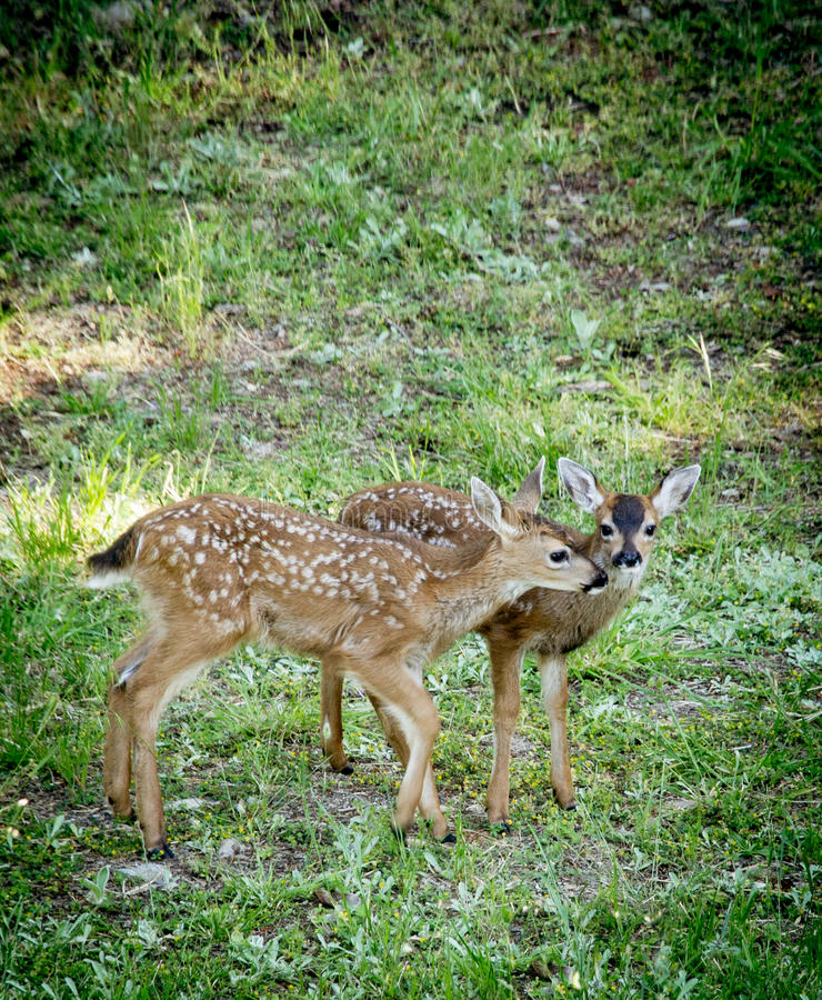 Fawn Twins royalty free stock photography