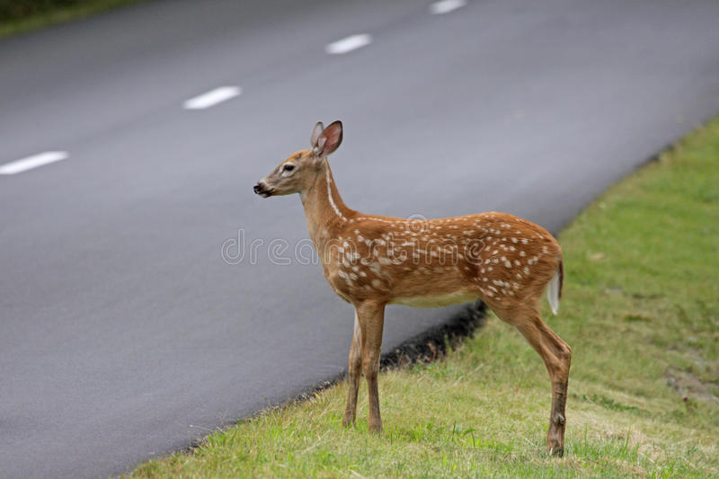 Fawn Waiting Beside la route image stock