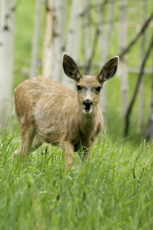 fawn walking in mountain forrest stock photography