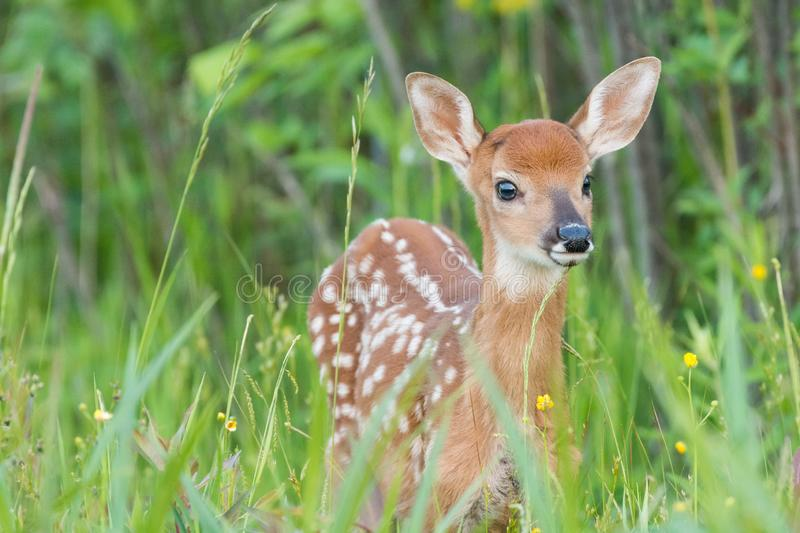 Fawn Whitetail Deer images libres de droits