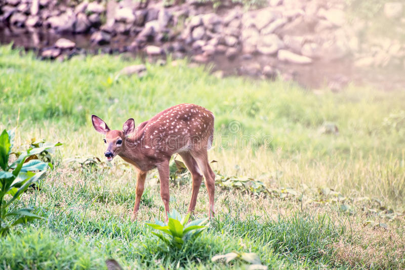 Fawn Whitetail Deer eating from field. With a stream behind it royalty free stock image