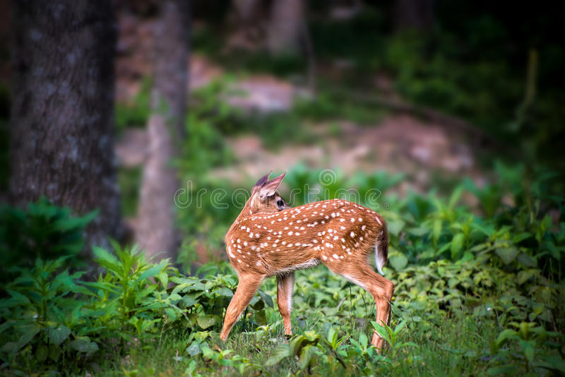 Fawn Whitetail Deer looking back. Fawn Whitetail Deer in forest looking back royalty free stock image