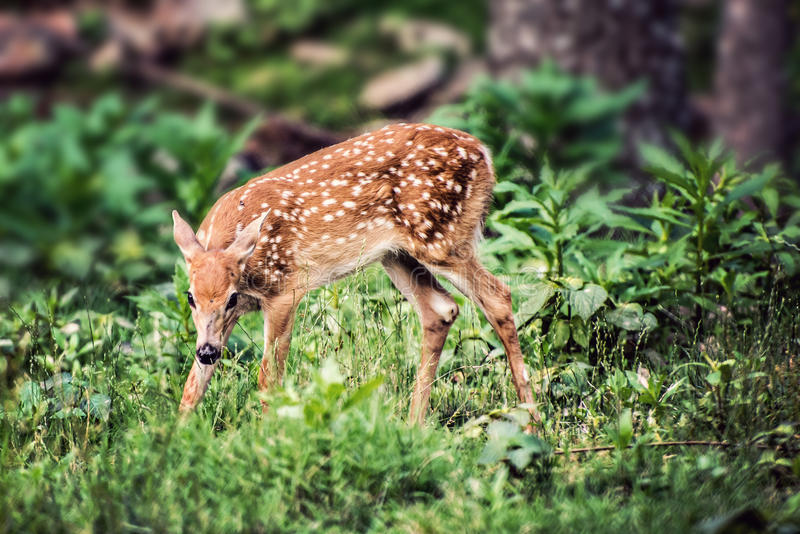 Fawn Whitetail Deer looking down. Fawn Whitetail Deer in forest looking down cautiously stock photos