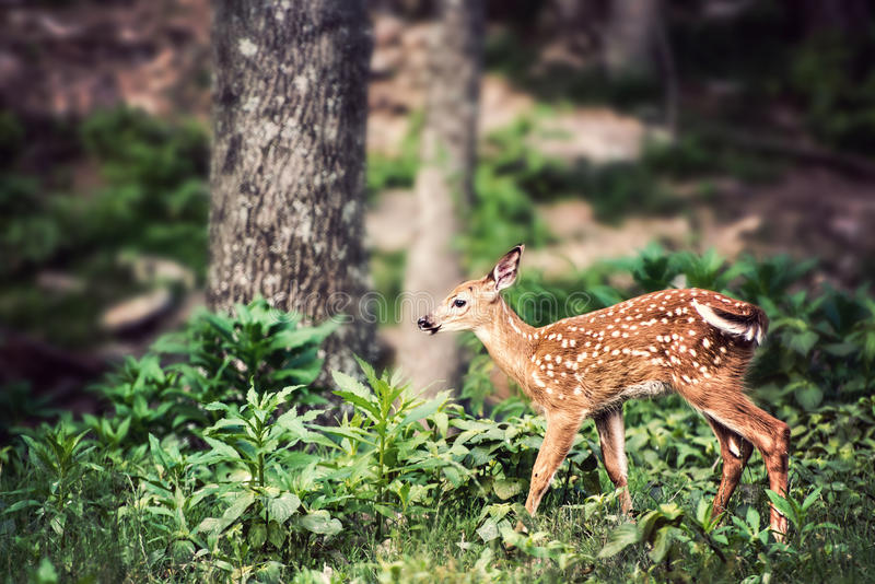 Fawn Whitetail Deer near Tree. Fawn Whitetail Deer near large tree in forest stock photo