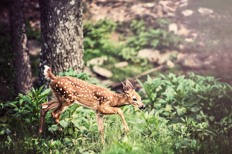 Fawn Whitetail Deer. Walking through forest stock images