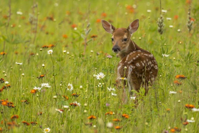 Fawn In Wildflowers stockfoto