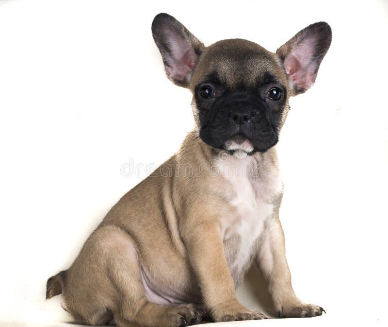 Fawnbuldog die camera vreselijk met de opgeheven oren bekijken stock foto's
