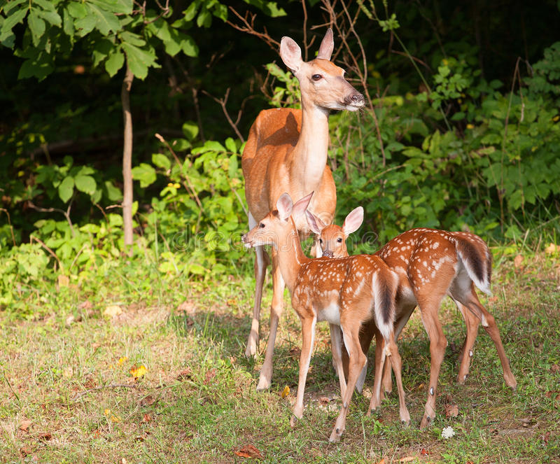 Download Fawns and mom stock image. Image of legs, female, feet - 34886315