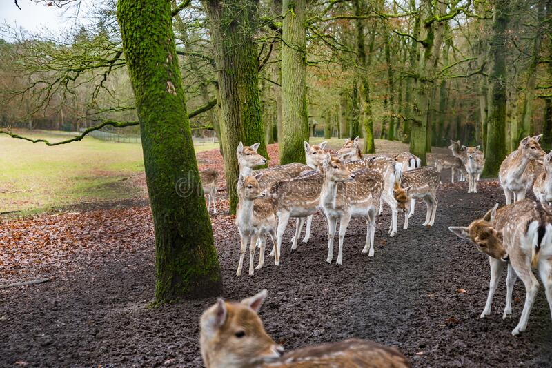 Fawns in reservation in forest in Zeist, Netherlands.  royalty free stock images