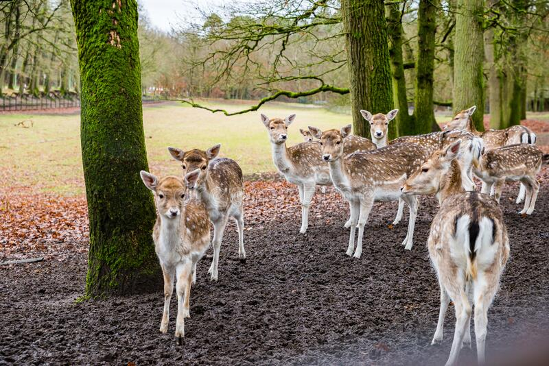 Fawns in reservation in forest in Zeist, Netherlands.  stock images