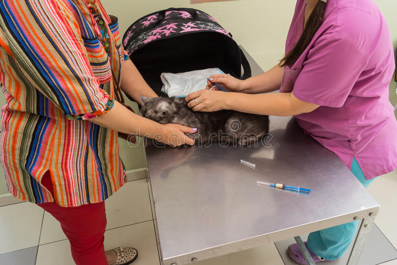 Faz o veterinário vacinou o gato, senhora dos gatos mantém seu animal de estimação imagens de stock royalty free