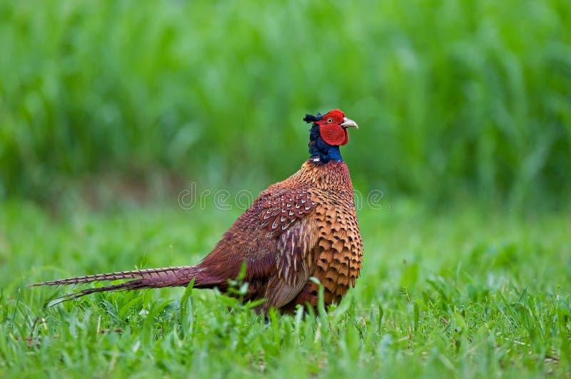 fazant stock fotografie